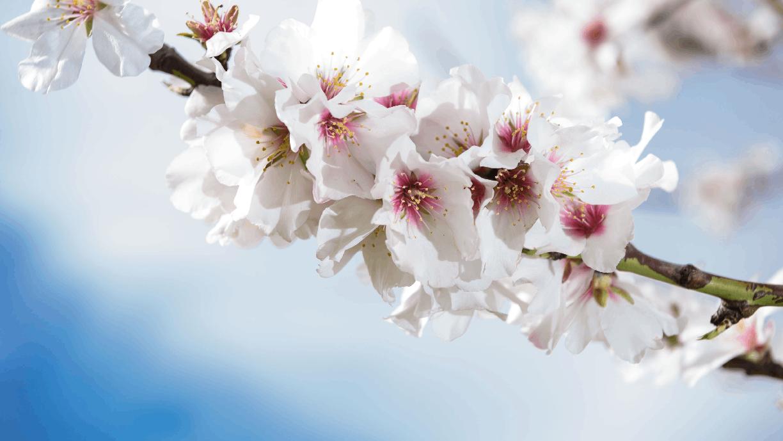 Mandlové květy